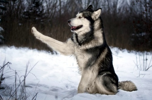 маламут похожий на волка