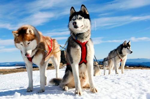 упряжка ездовых собак