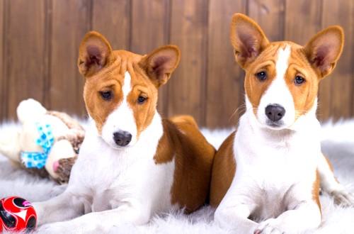 два пса басенджи