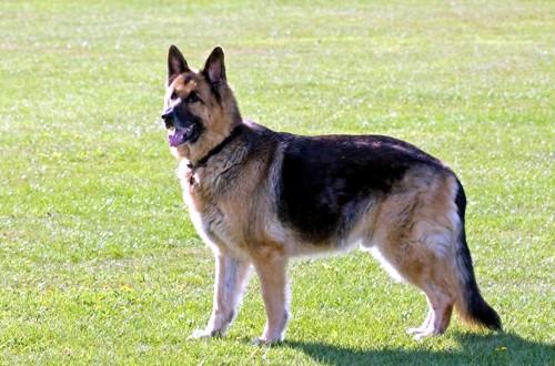 чепрачный пес