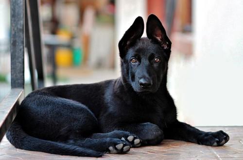 черный щенок овчарки