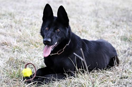 черная собака с игрушкой