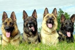 4 овчарки разных окрасов
