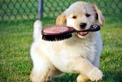 щенок с расческой