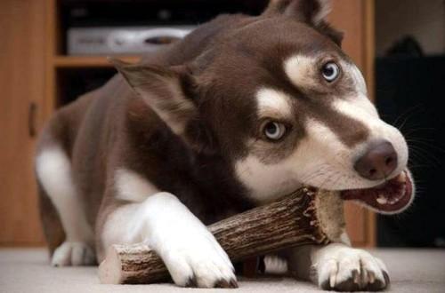 пес грызет рога оленя