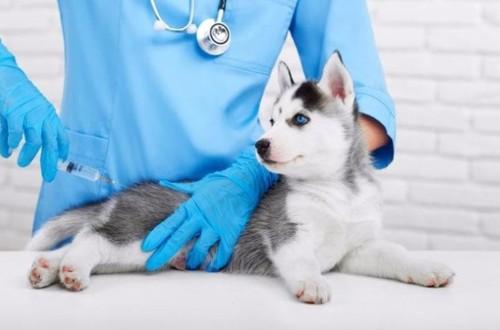 прививка щенку хаски