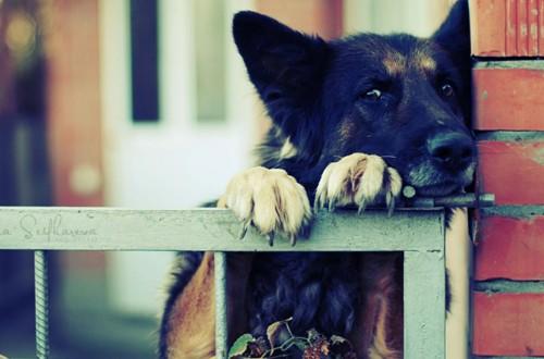 пес охраняет территорию