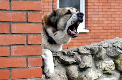 собака охраняет территорию