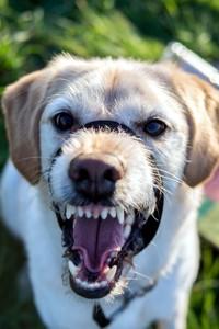 собака огрызается на человека