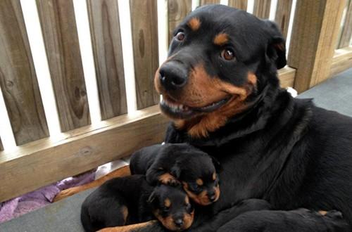 сука с щенками огрызается при приближении