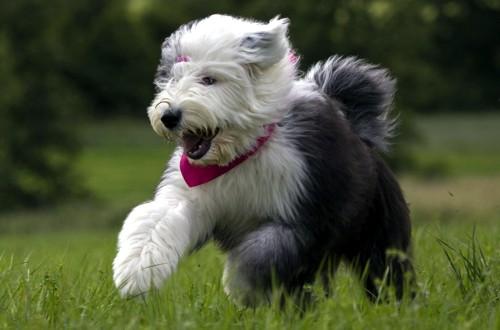 собака бобтейл в прыжке