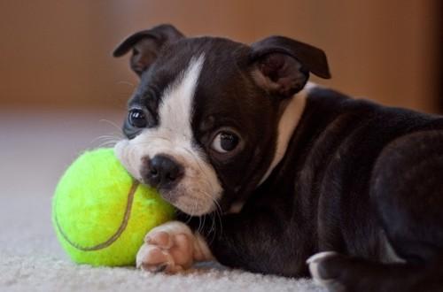 бостон-терьер играет с мячиком