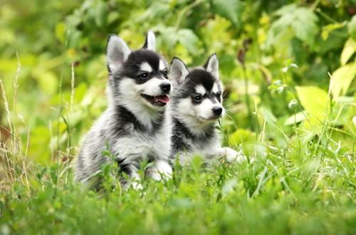 два щенка миниатюрных хаски