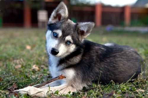 взрослый кли-кай с голубыми глазами