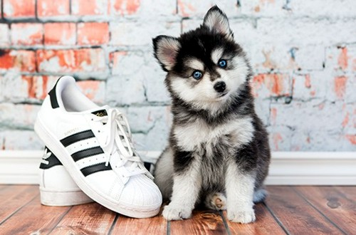 щенок мини хаски и ботинок
