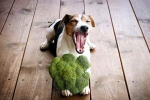 джек рассел терьер ест броколи