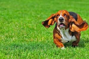 пес с длинными ушами и короткими лапами