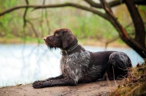 легавый пес в лесу