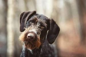 бородатая собака дратхаар