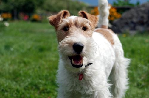 кучерявый пес фокстерьер с бородой