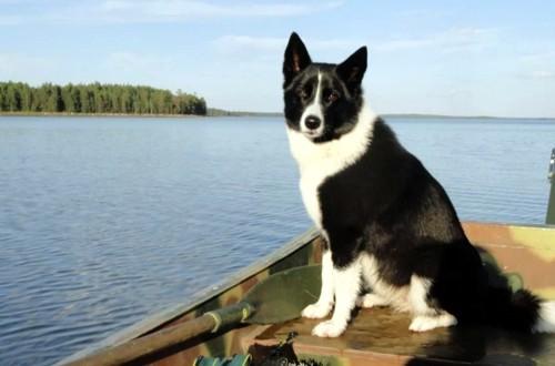 черно-белая сибирская лайка в лодке