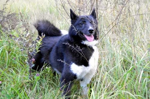 собака русско-европейская лайка на охоте в лесу