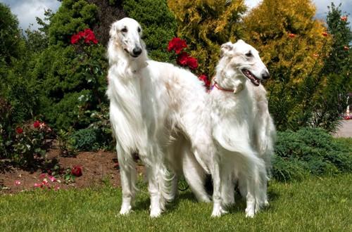 две белые длинношерстные псовые борзые