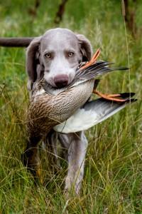 легавый пес веймаранер с пойманной дичью