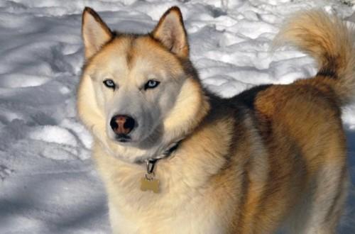 Пес соболиного цвета с выразительными глазами
