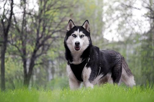 брутальный пес с белой полосой на морде