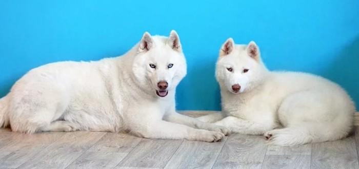 два шикарных сибирских хаски белого цвета