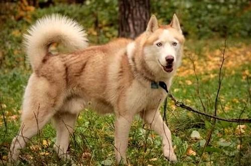 палевый пес
