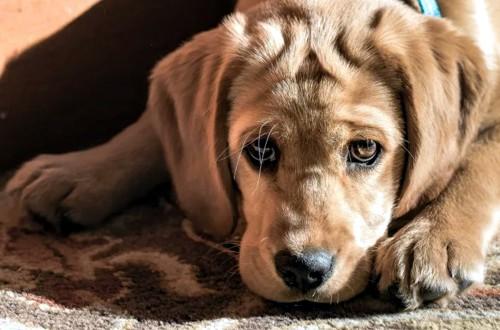 щенок перед прививкой