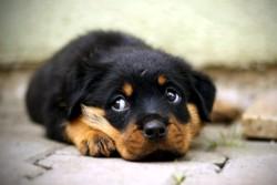 Голодный щенок
