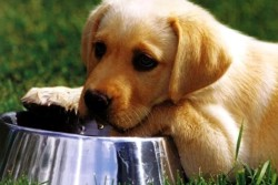 щенок лабрадора рядом с миском