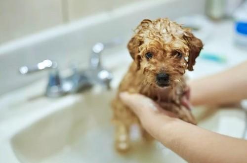 купание собачки в раковине