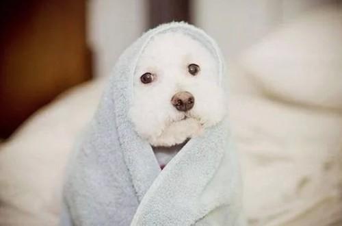 кутенок укутанный в полотенце