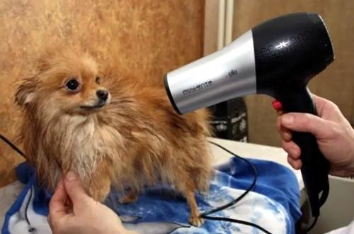 сушка феном маленькой собачки
