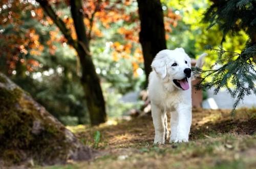веселый лабрадор гуляет по лесу