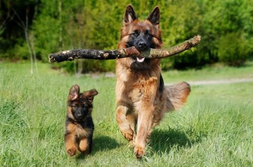 взрослая овчарка с палкой в зубах и щенок
