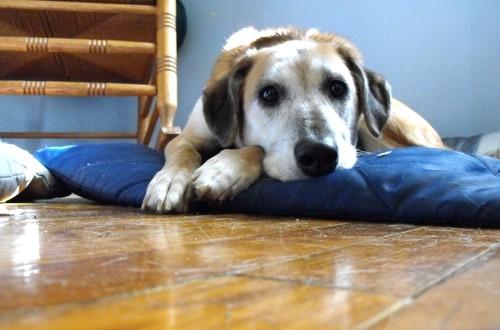больная собака на лежанке дома