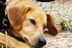 пёс больной чумой плотоядных