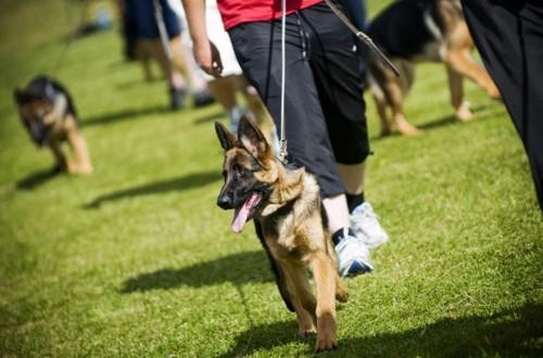 занятия с немецкой собакой