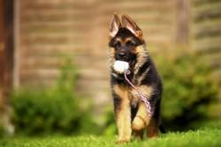щенок овчарки 2 месяца с игрушкой
