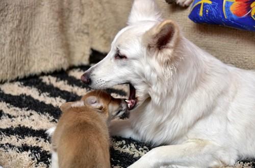 взрослая собака захватывает в пасть щенка