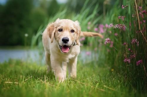 здоровый щенок